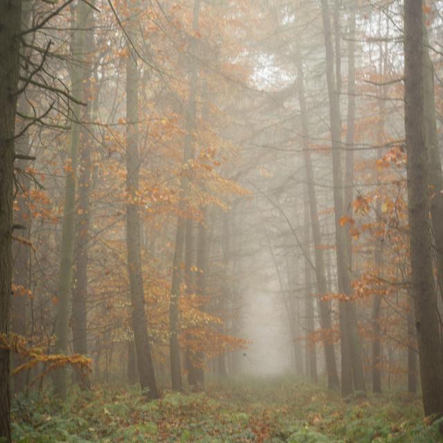 """Misty Tree avenue"" stock image"
