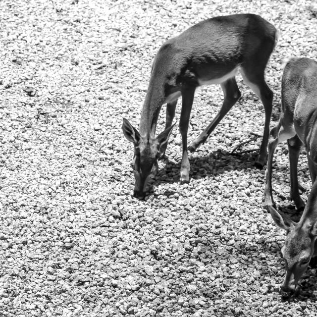 """Key Deer"" stock image"