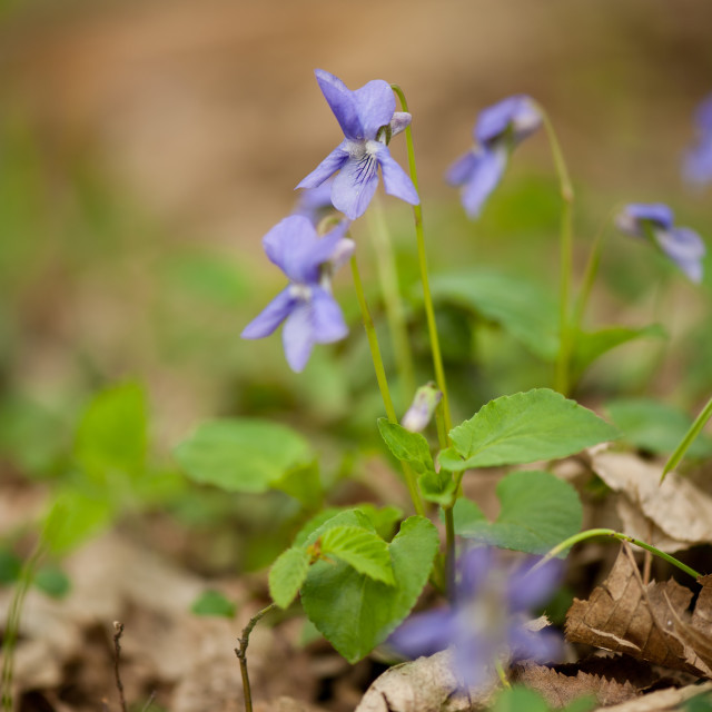 """Viola flowerets macro"" stock image"