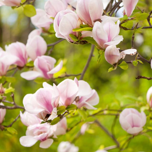 """Magnolia pink efflorescences"" stock image"