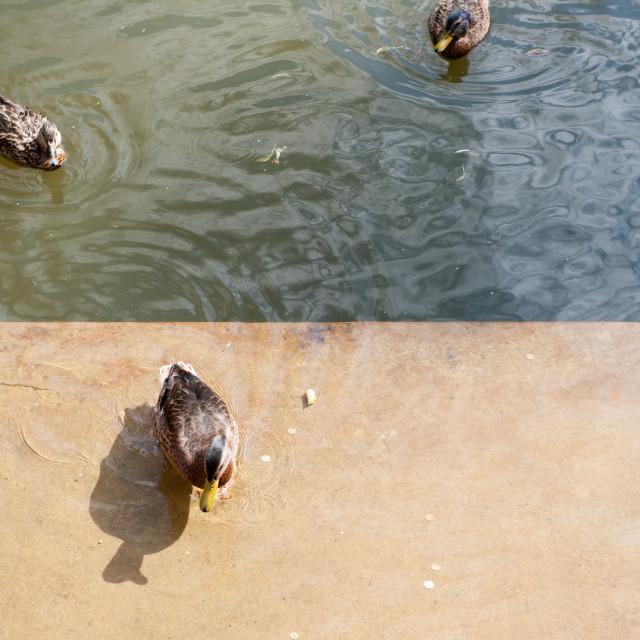 """Feeding wild ducks with bread"" stock image"