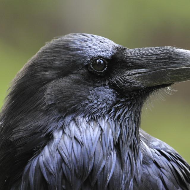 """portrait of a Raven"" stock image"