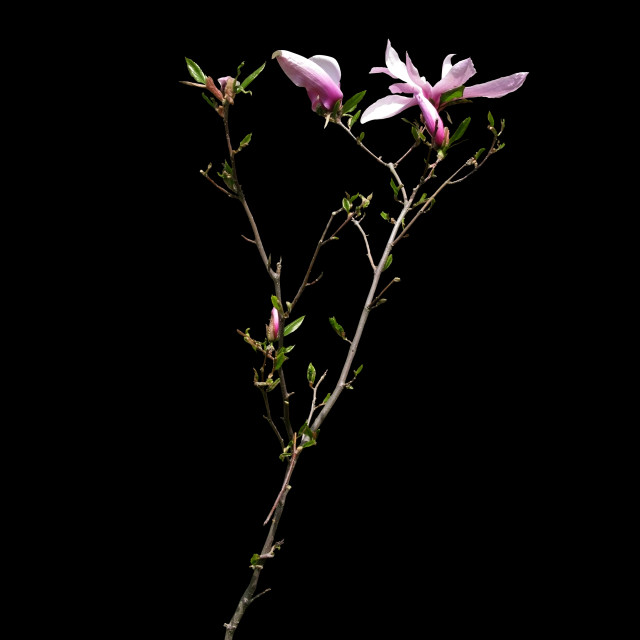 """""""Magnolia branch with flowers"""" stock image"""