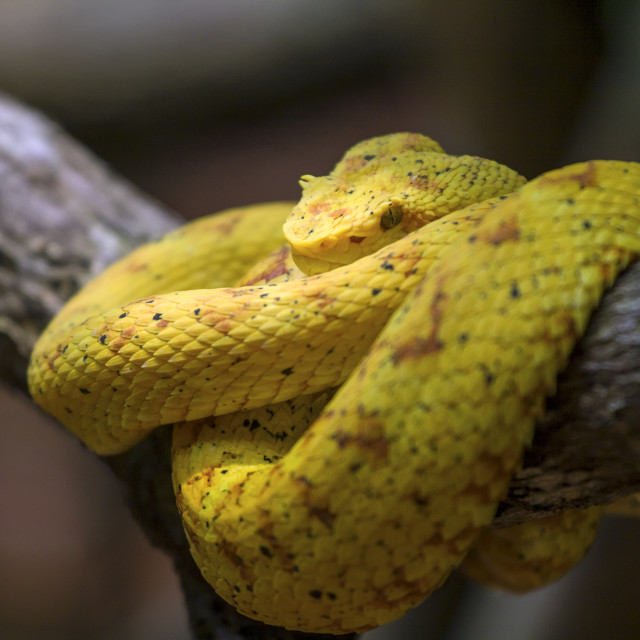 """Eyelash viper"" stock image"