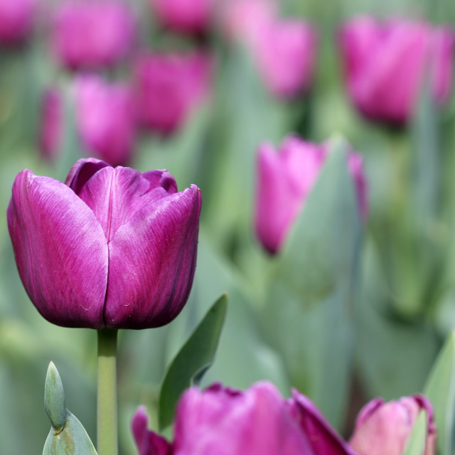 """purple tulip flowers spring season"" stock image"