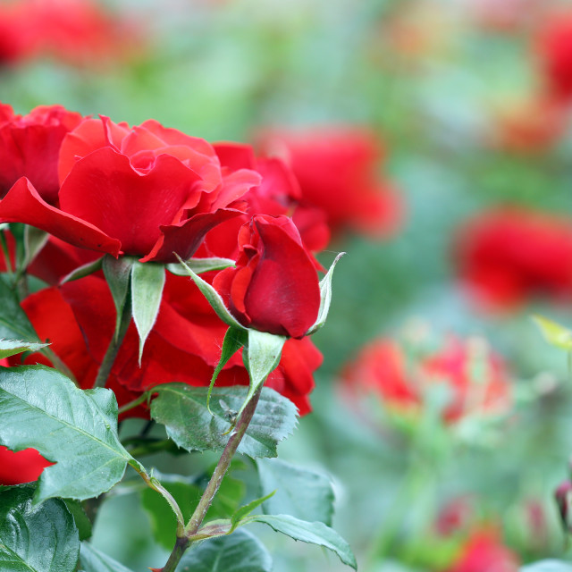 """red roses flowers spring season"" stock image"