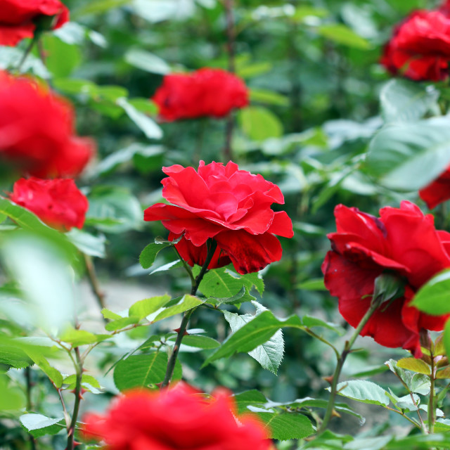 """""""garden with red roses flower"""" stock image"""