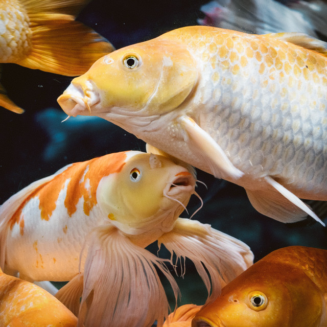"""""""A group of goldfish"""" stock image"""