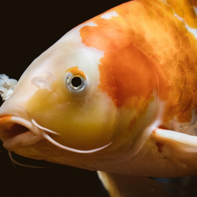 """""""goldfish"""" stock image"""