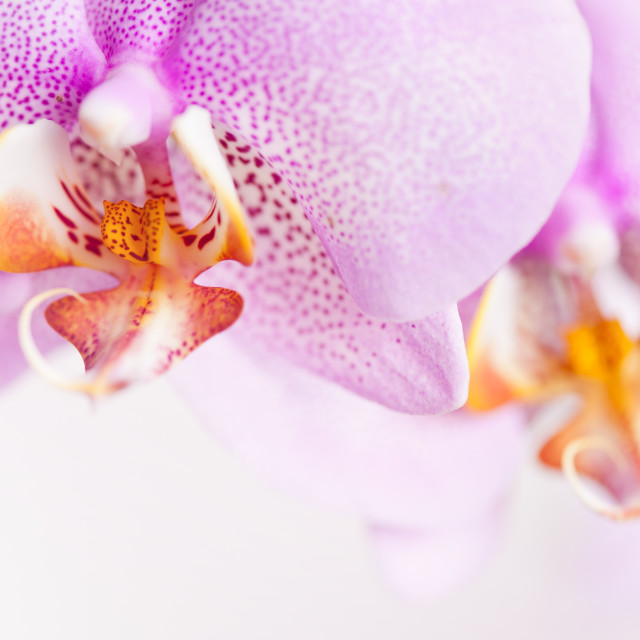 """Pink spotted Orchid copyspace"" stock image"