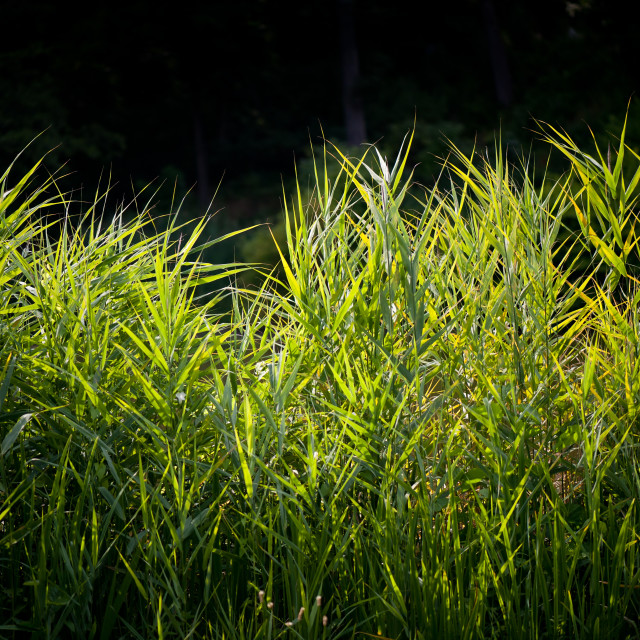 """Brights reeds in sunny weather"" stock image"