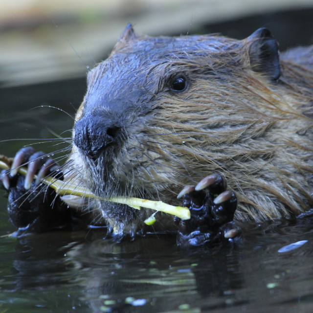 """""""Beaver chewing on bark"""" stock image"""