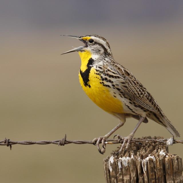 """""""Western Meadowlark singing"""" stock image"""
