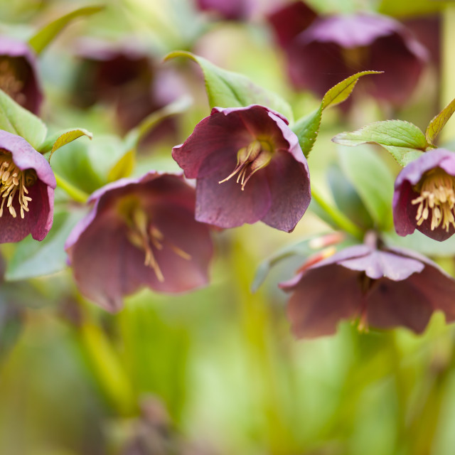 """Hellebore claret blossoms macro"" stock image"