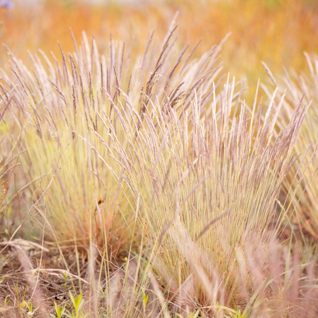 """Flowering ornamental grass clumps"" stock image"