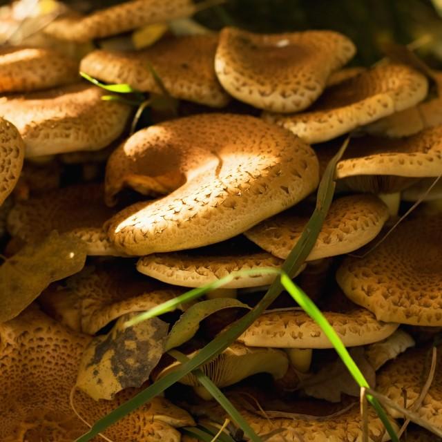 """""""Armillaria mushroom in autumn leaves"""" stock image"""