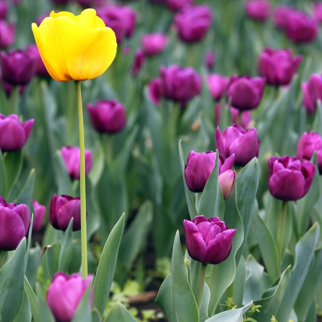 """""""yellow and purple tulip flowers springtime"""" stock image"""