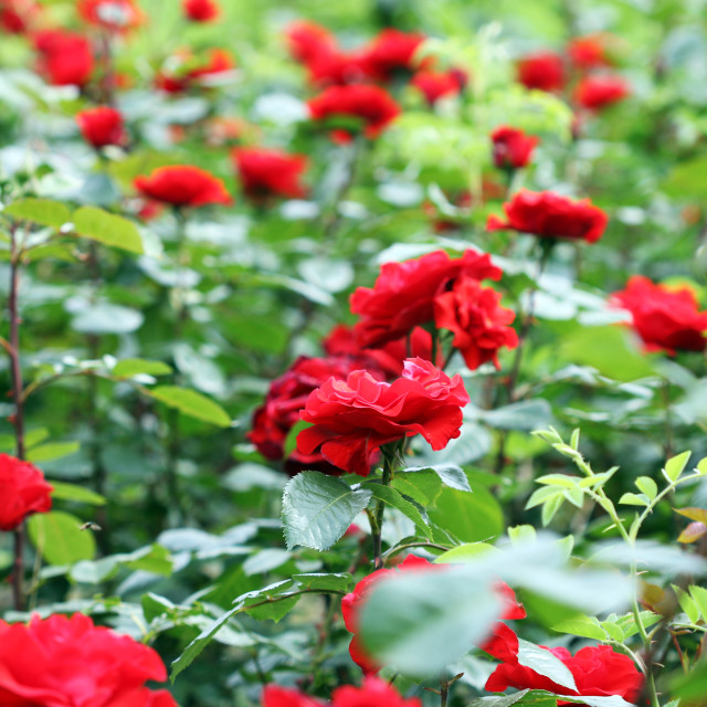 """red rose flowers garden springtime"" stock image"