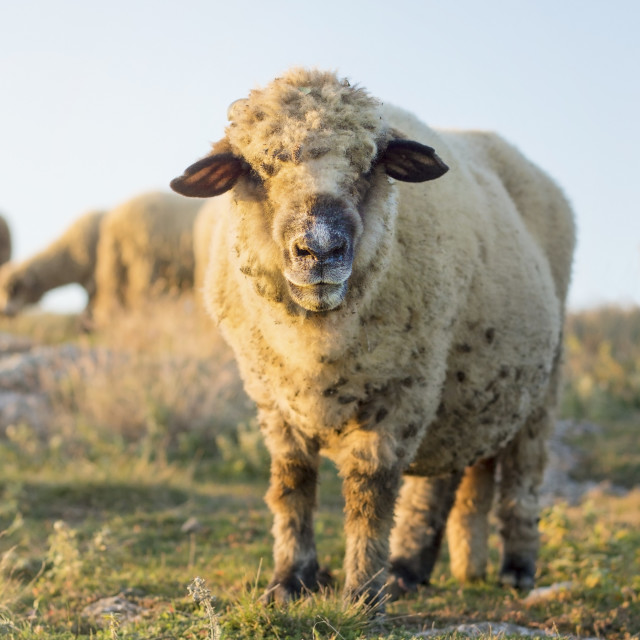 """Happy sheep grazing in the field facing the camera"" stock image"