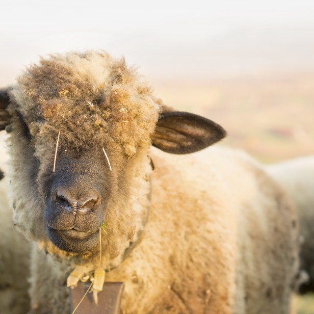 """Portrait of a cute sheep grazing in the field"" stock image"