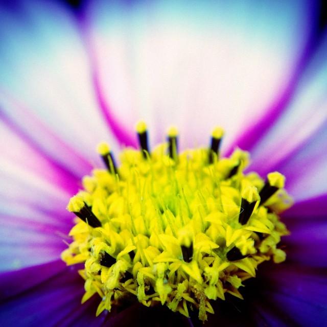 """Cosmos flower"" stock image"