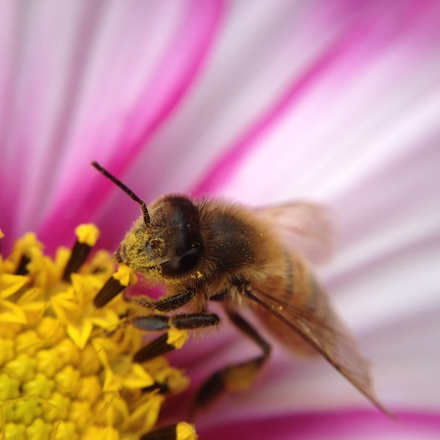 """""""Bee pollinating a cosmos flower"""" stock image"""