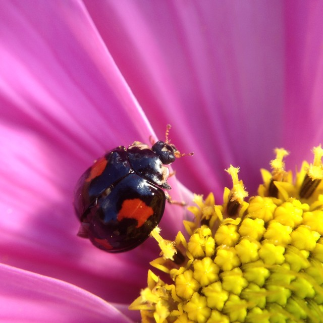 """""""Ladybird on a cosmos flower"""" stock image"""