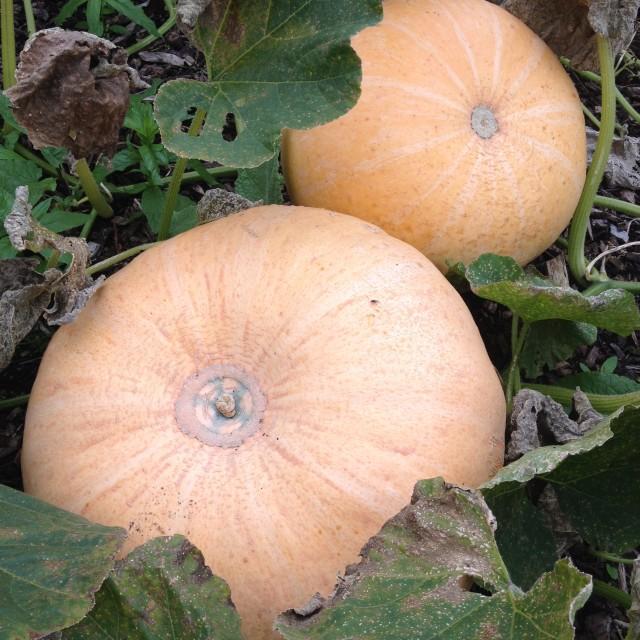 """Pumpkins growing"" stock image"