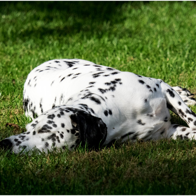 """Dalmatian dog"" stock image"