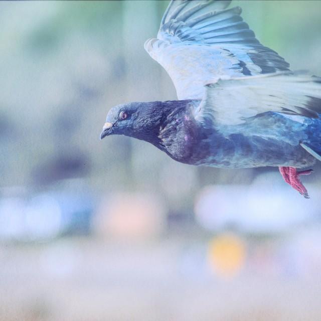 """Dreamy Pigeon"" stock image"