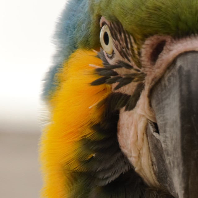 """macaw close up"" stock image"