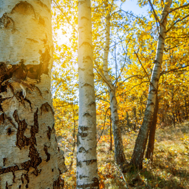 """birch trees in a autumn forest"" stock image"