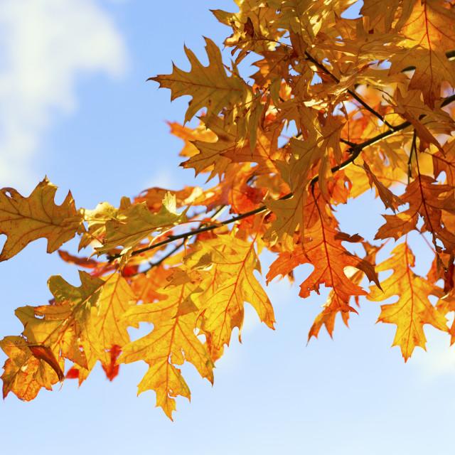 """Golden Maple leaves against the sky"" stock image"