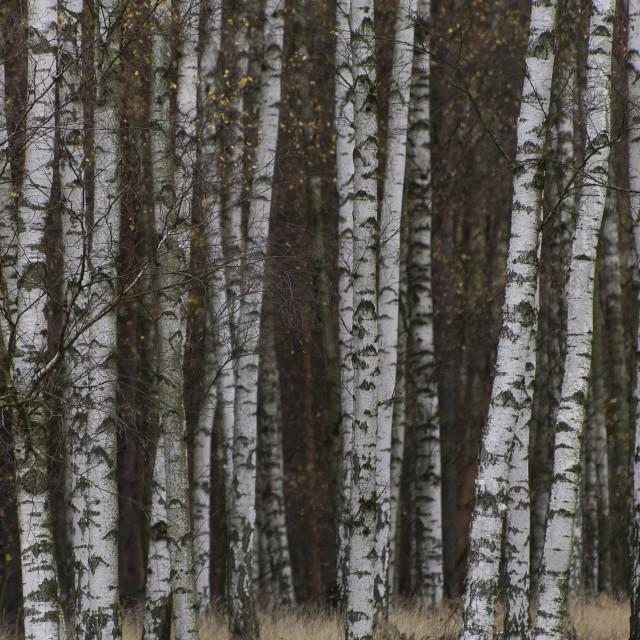 """Silver birch"" stock image"