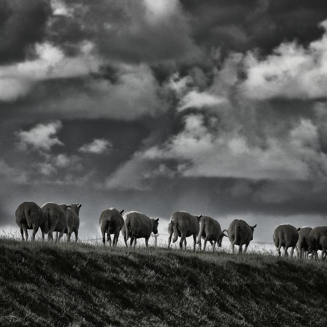 """Sheep."" stock image"