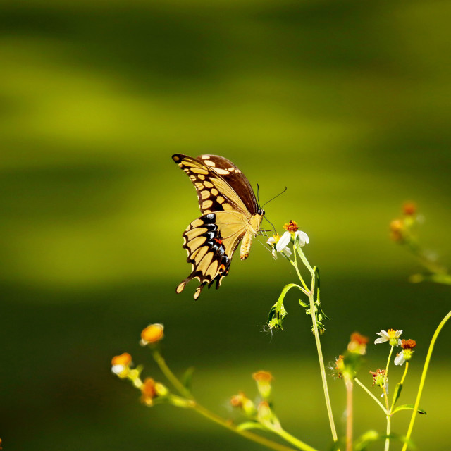 """Yellow Butterfly"" stock image"