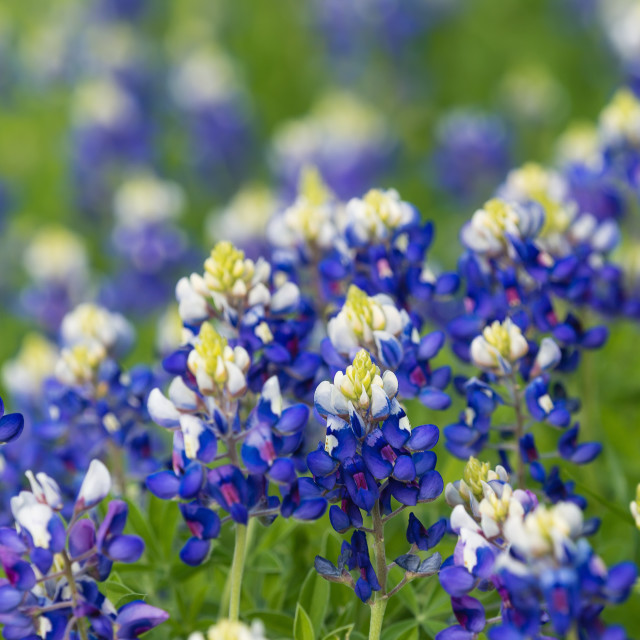 """""""Texas bluebonnets (Lupinus texensis) blooming on the meadow"""" stock image"""