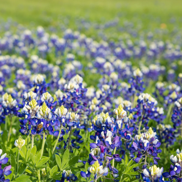 """""""Texas bluebonnets (Lupinus texensis) field blooming"""" stock image"""