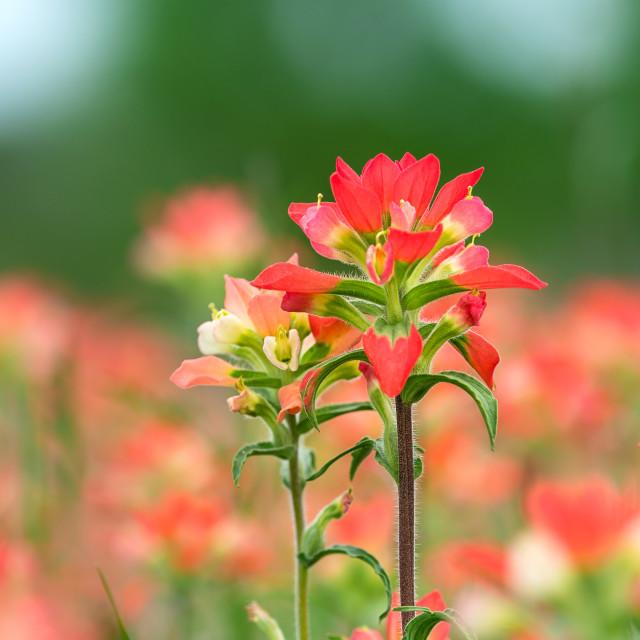 """Indian Paintbrush wildflowers"" stock image"