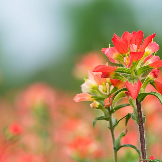 """Indian Paintbrush wildflower closeup"" stock image"