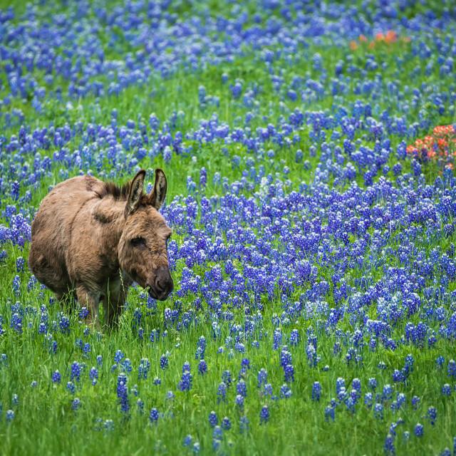 """""""Donkey grazing on Texas bluebonnet pasture"""" stock image"""