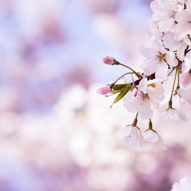 """Closeup of cherry tree blossoms in the spring"" stock image"