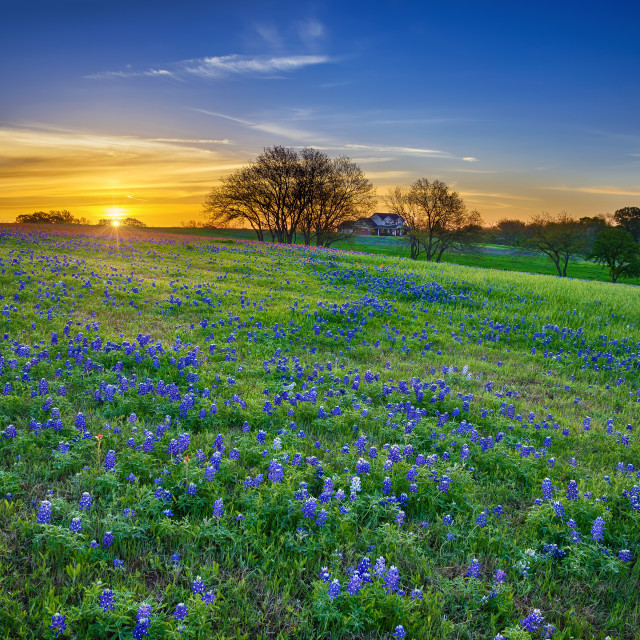 """Texas bluebonnet field at sunrise"" stock image"