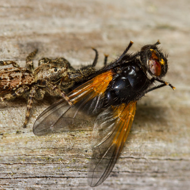 """""""Noon Fly caught by Marpissa muscosa spider"""" stock image"""
