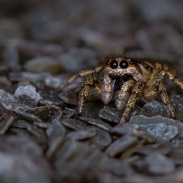 """""""Zebra Spider (Salticus scenicus)"""" stock image"""