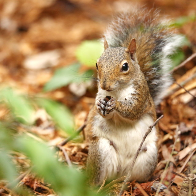 """Gray Squirrel eatting a acorn"" stock image"