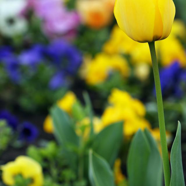 """yellow tulip flower garden springtime"" stock image"