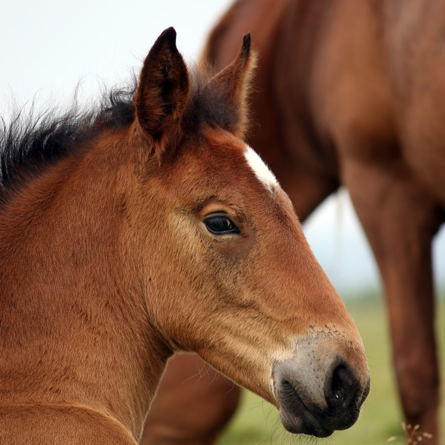 """brown horse foal head portrait"" stock image"