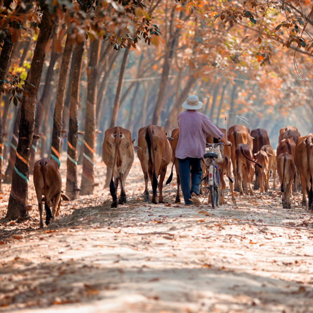 """""""cow tender at rubber forest"""" stock image"""