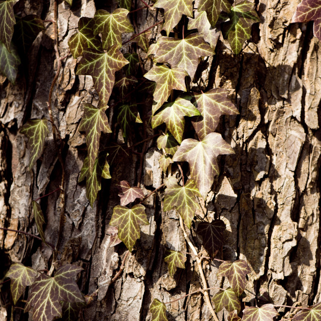 """Ivy leaves on tree bark"" stock image"